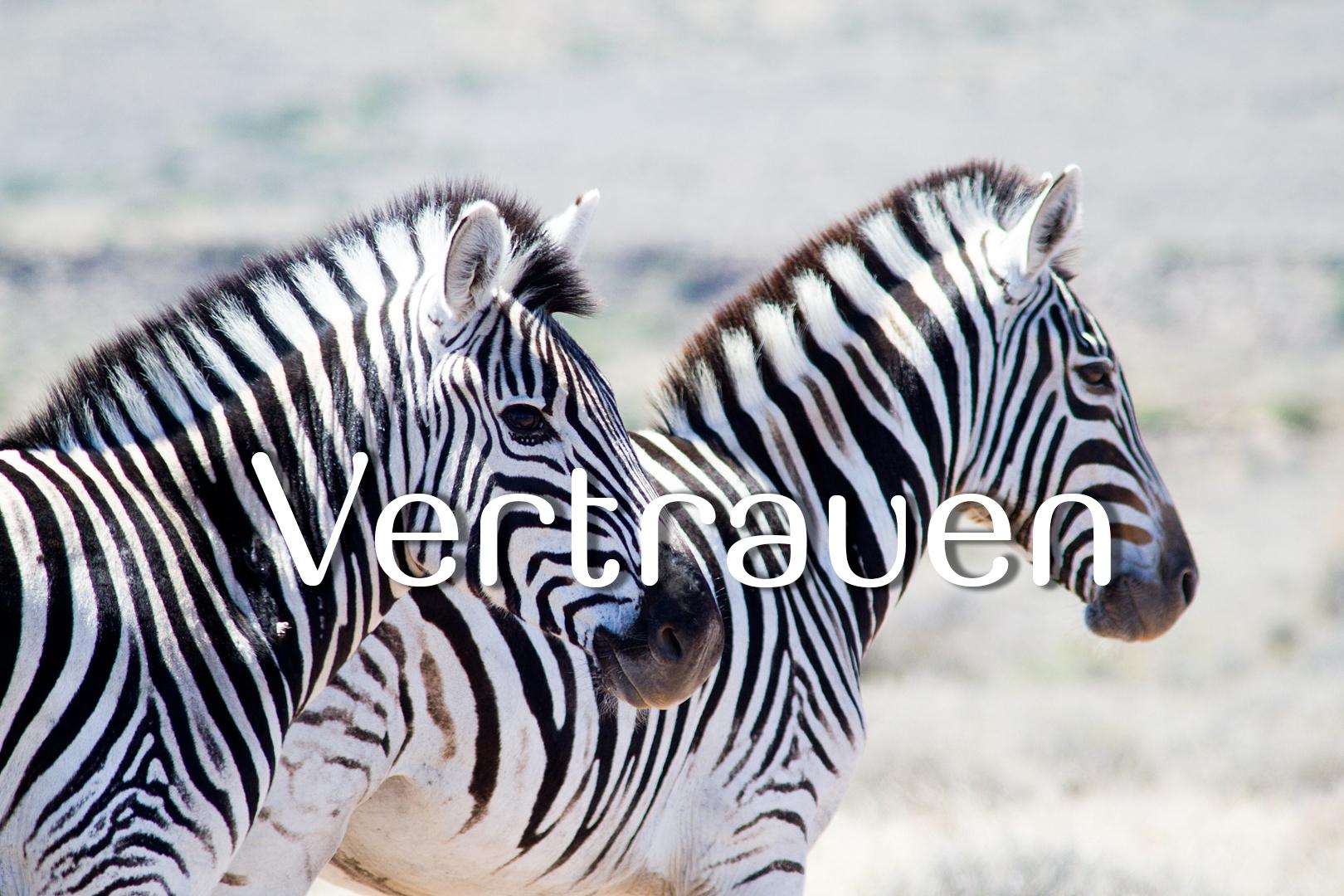 Zebras_7545_Vertrauen