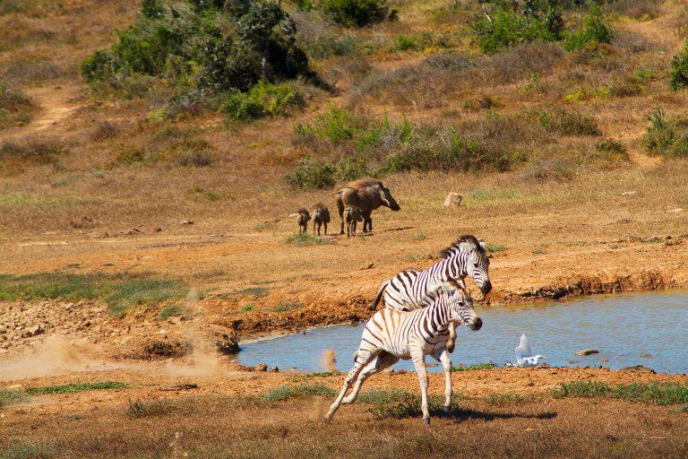 Zebras_7230